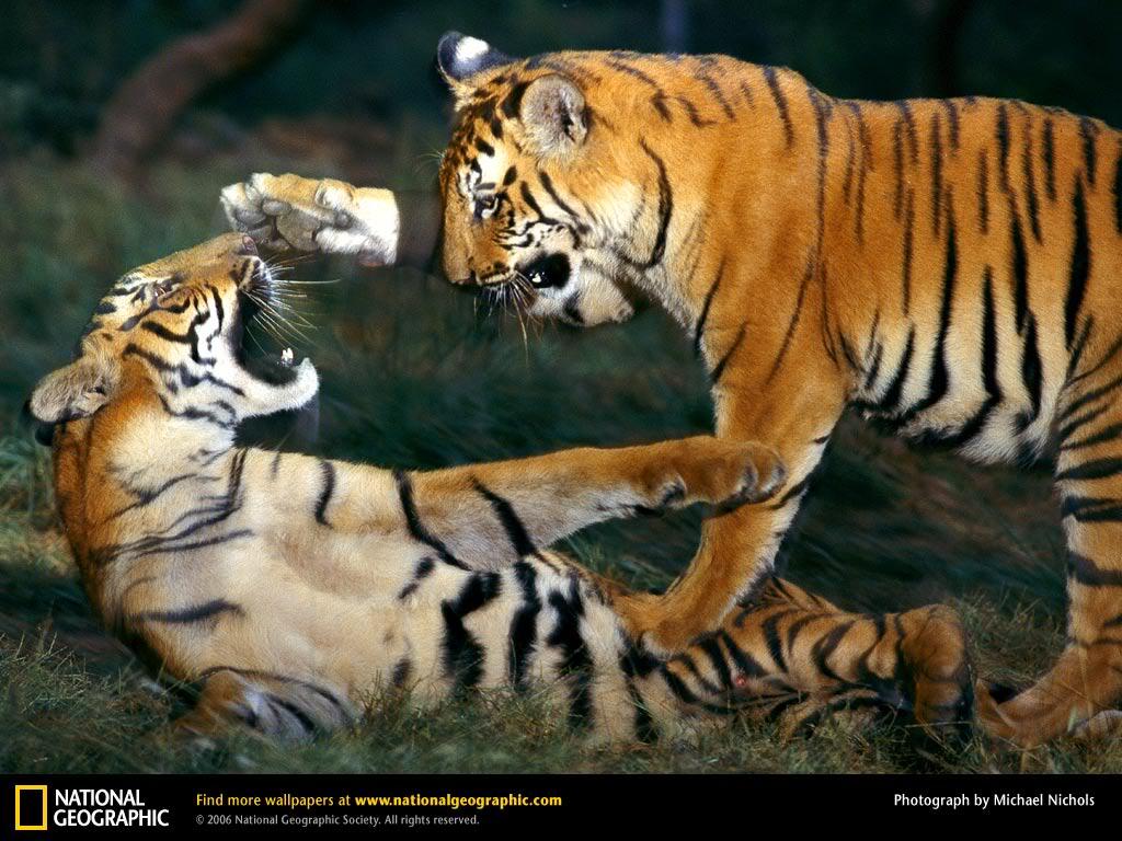 Australia Open 2011 - Página 5 Tigre-descaragar-11