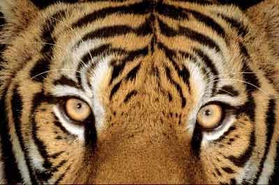Los ojos de Roger - Página 9 Tigre-occhi