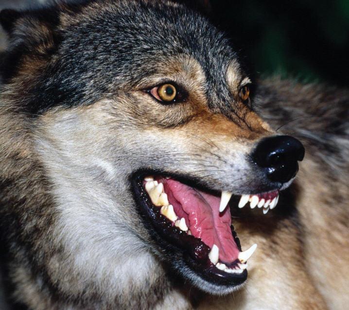 fotos de roger - Página 5 6-lobo
