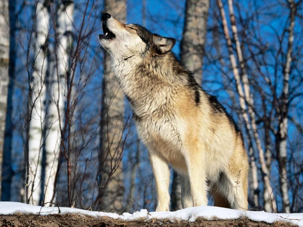 fotos de roger - Página 5 Howling-wolf1