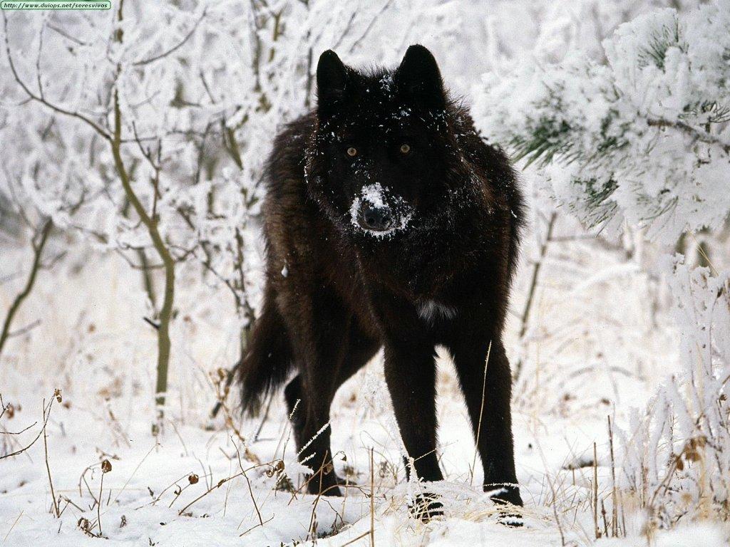 fotos de roger - Página 5 Lobo-3