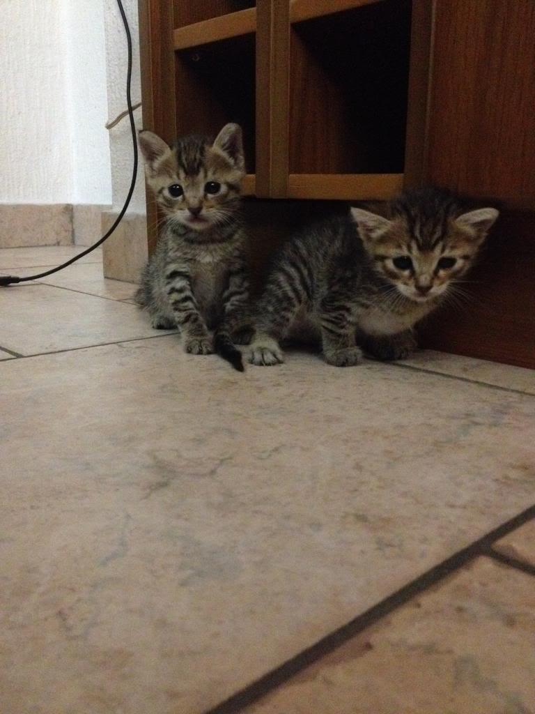 Χαριζονται 2 μωρακια γατακια 1 μηνος %203_zpsfpk1f6ov