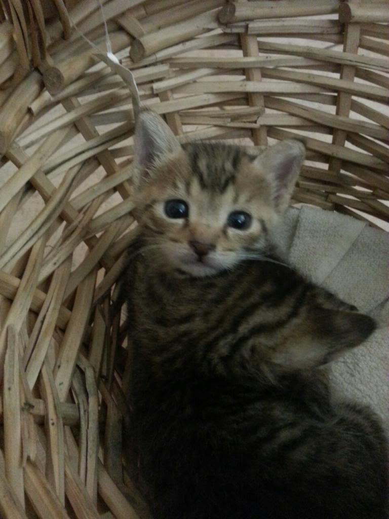 Χαριζονται 2 μωρακια γατακια 1 μηνος Image-7ba2346becf19fedf0863517479fce30e3de44e866976bebcc933b8f4e08db94-V_zpstcee1hqw