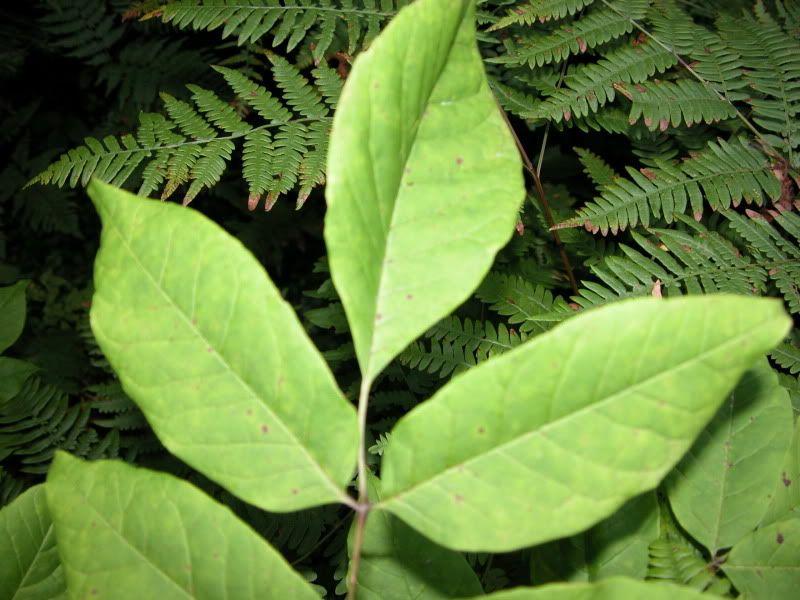Arbuste ou arbre à identifier svp DSCN4430