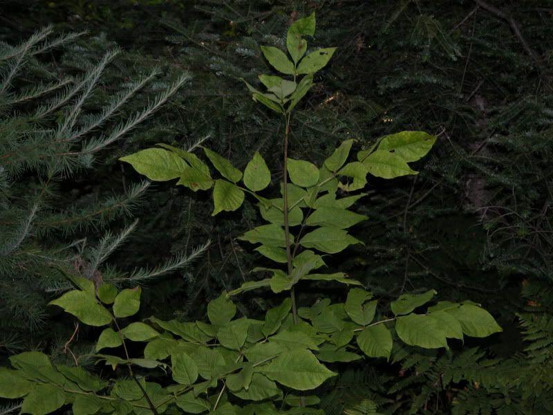Arbuste ou arbre à identifier svp DSCN4431