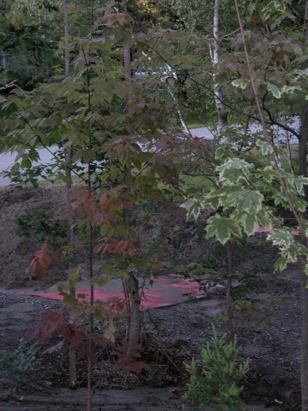 Arbuste ou arbre à identifier svp DSCN4432