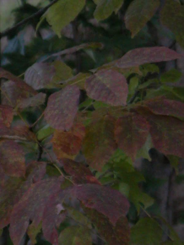 Arbuste ou arbre à identifier svp DSCN4433