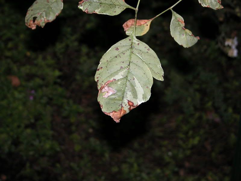 Arbuste ou arbre à identifier svp DSCN4462