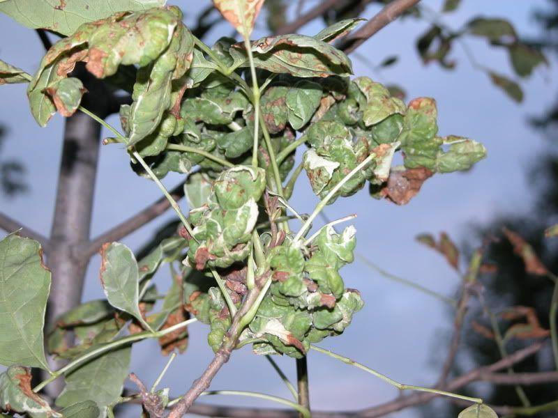Arbuste ou arbre à identifier svp DSCN4465