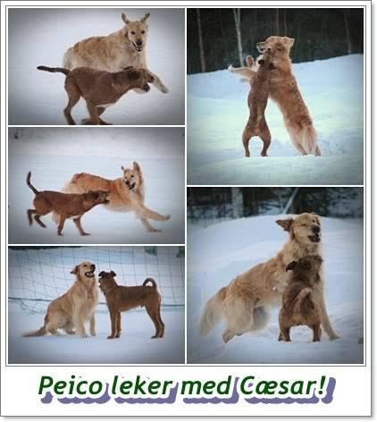 hunder og venner Peicolekermedcsar