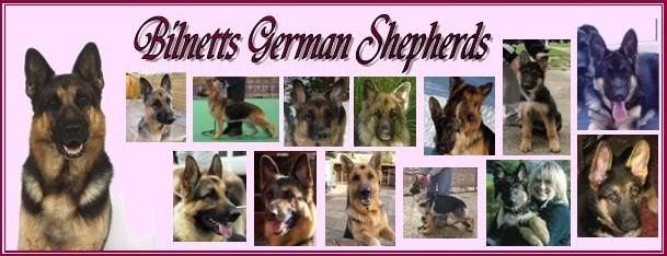 BILNETTS GERMAN SHEPHERDS