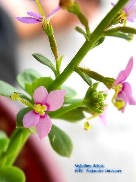 My flowering Stylidium debile Stylidium_debile-480x640-Alejandro_