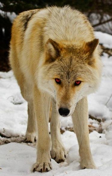 Minato//Gumiya ID Wolf_zpsof5fa6yq