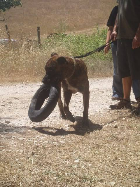 Ganesh - pit bull x boxer  4 anos  - Uz P1010143