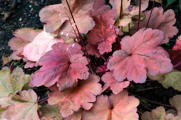 Heuchera Autumn Leaves HeucheraAutumnLeaves2_web