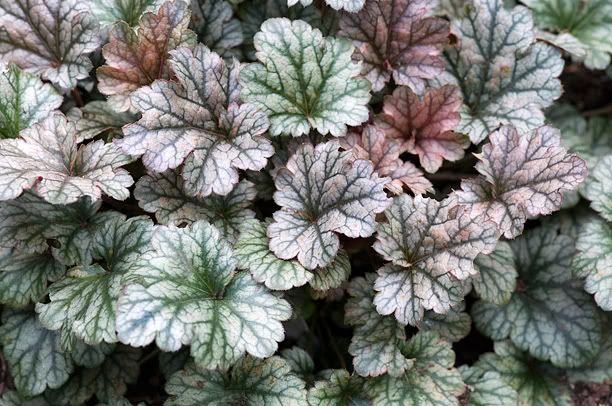 Heuchera Rave On HeucheraRaveOn_web