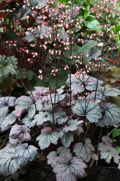Heuchera Sugar Plum HeucheraSugarPlum_web