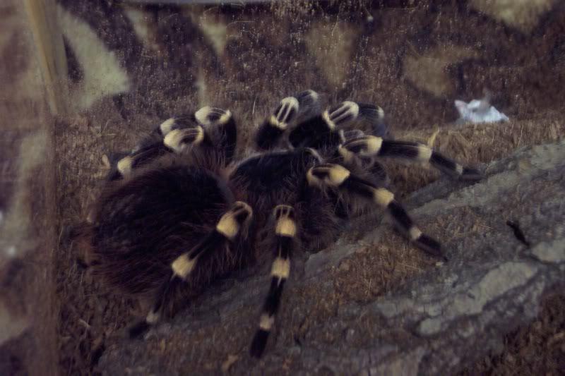 my new geniculata :) Spiders339