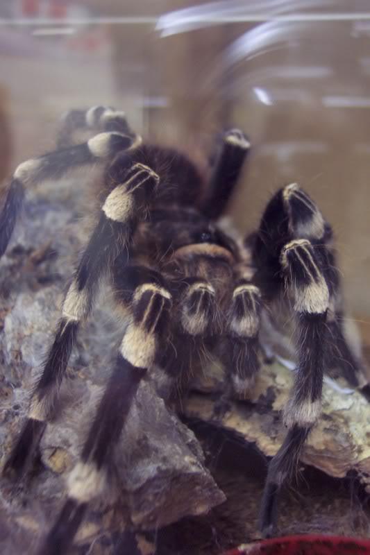 my new geniculata :) Spiders340