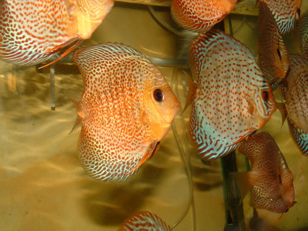 Populations bacs grossissement Discus DSCF0090
