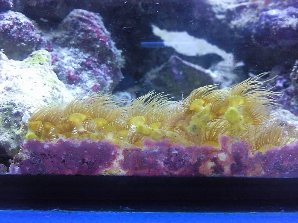 parazoanthus gracilis.....plagaaaaaaa Foto0790