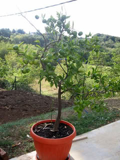 AGRUMI (mandarine, limunovi...) Limunoviicvece003-1-1