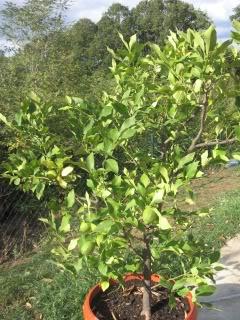AGRUMI (mandarine, limunovi...) Limunoviicvece007