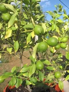 AGRUMI (mandarine, limunovi...) Limunoviicvece011