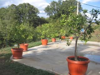 AGRUMI (mandarine, limunovi...) Limunoviicvece013