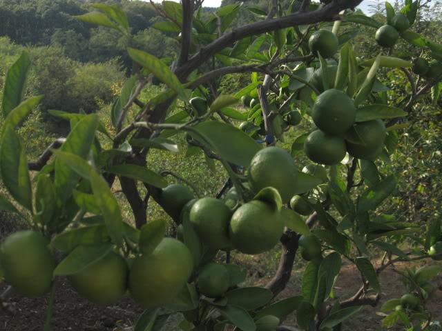 AGRUMI (mandarine, limunovi...) Limunoviicvece014