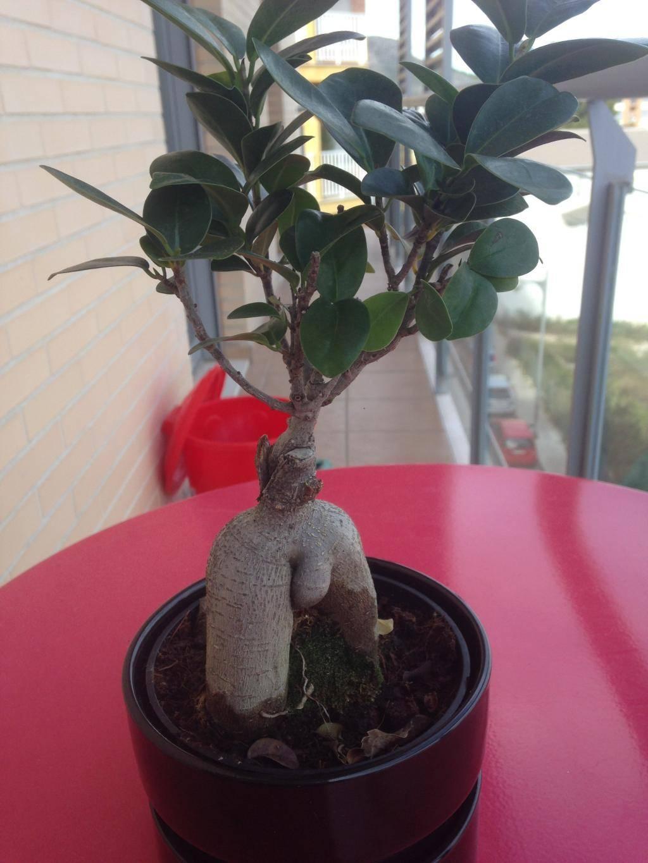 Ficus Ginseng 18FA9EB8-5389-48C6-BABE-E145CA082AE6