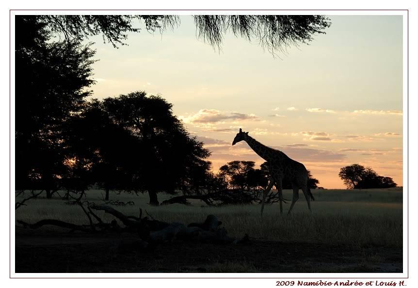 KTP Girafes au coucher de soleil DSC_9002