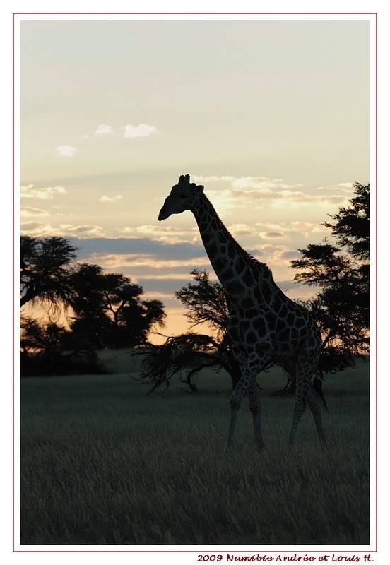 KTP Girafes au coucher de soleil DSC_9727