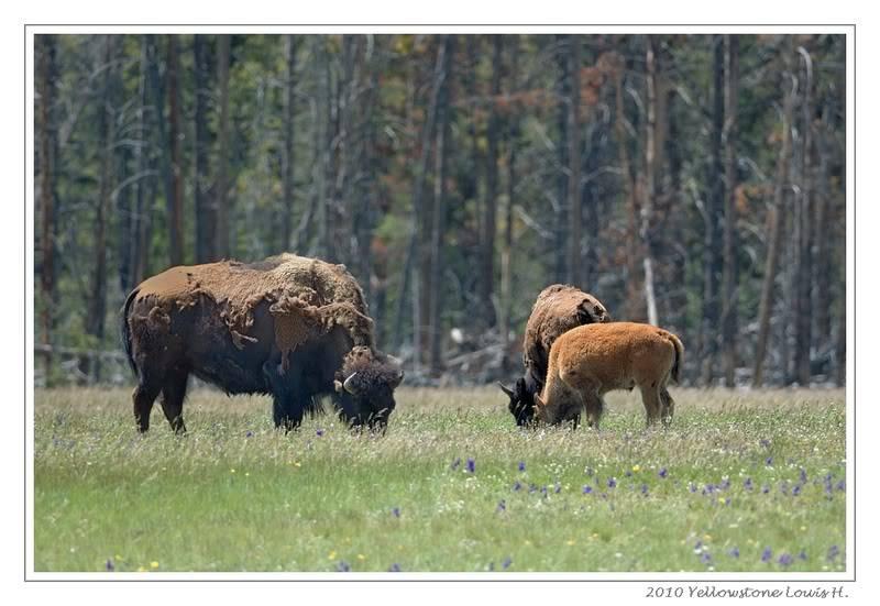De Grand teton à Glacier en passant par Yellowstone: Partie 2 Yellowstone DSC_1447