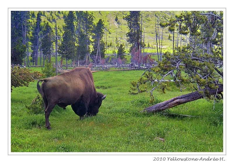 De Grand teton à Glacier en passant par Yellowstone: Partie 2 Yellowstone IMG_2343-1