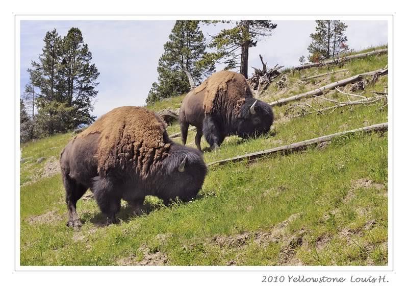 De Grand teton à Glacier en passant par Yellowstone: Partie 2 Yellowstone _DSC6404