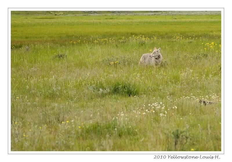 De Grand teton à Glacier en passant par Yellowstone: Partie 2 Yellowstone _DSC6516