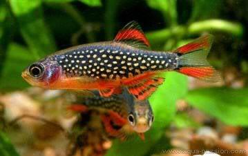 Celestichthys margaritus: Celestichthy2007122139451