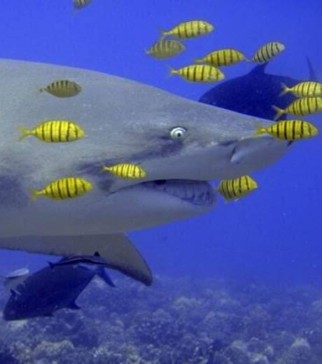 nouveaux animaux de compagnie: Gros-plan-sur-un-requin-citron_1516