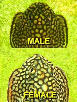 Sewellia lineolata: Image_preview3-1
