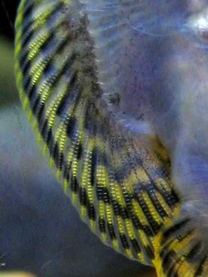 Sewellia lineolata: Image_preview3