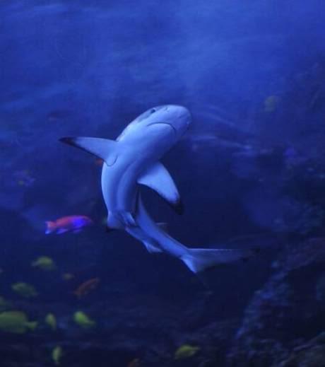 nouveaux animaux de compagnie: Le-requin-a-pointes-noires-ne-prese