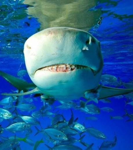 nouveaux animaux de compagnie: Le-requin-citron-peut-mesurer-jusqu