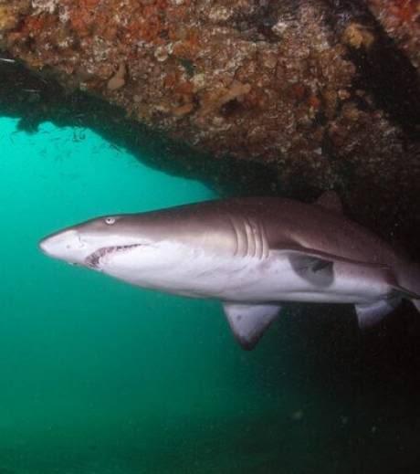 nouveaux animaux de compagnie: Le-requin-taureau-est-une-espece-vu