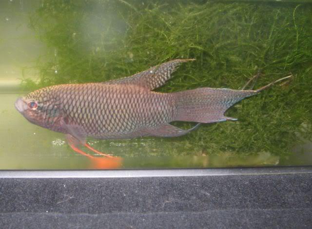 Macropodus Spechti: Spechti1