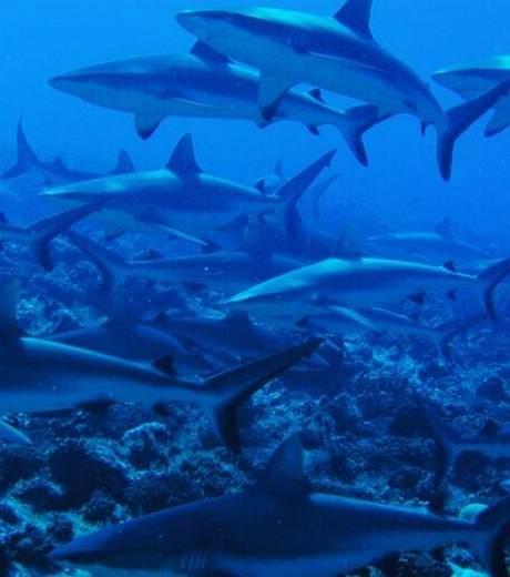 nouveaux animaux de compagnie: Un-banc-de-requins-a-tahiti_15165_w