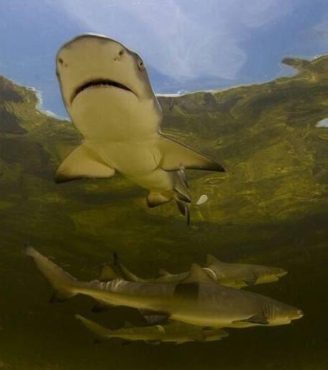nouveaux animaux de compagnie: Un-jeune-requin-citron_15163_w4601