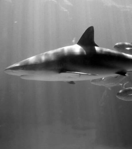 nouveaux animaux de compagnie: Un-requin-dans-les-jardins-de-la-re