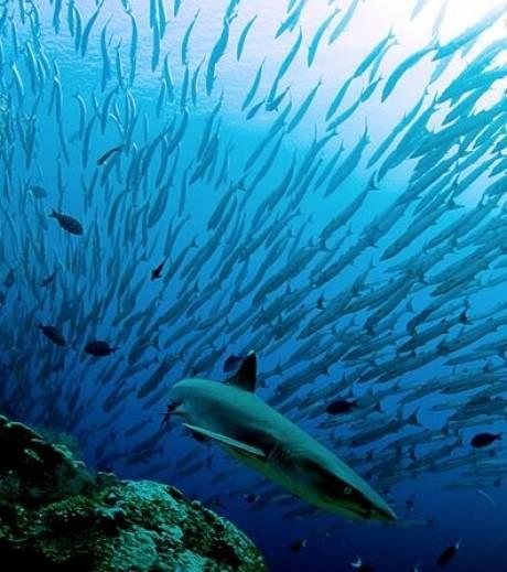 nouveaux animaux de compagnie: Un-requin-longimane_15167_w4601