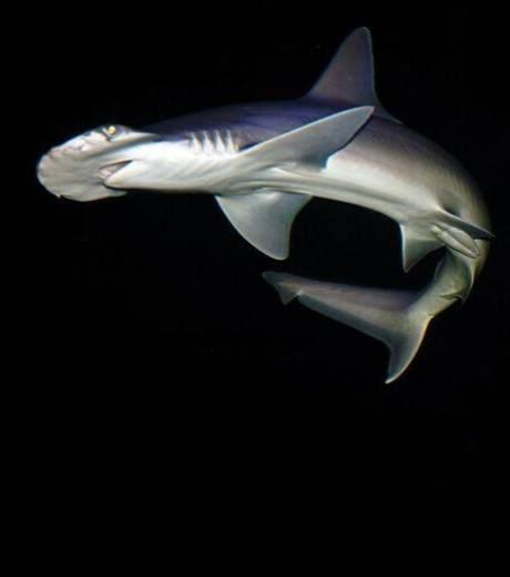 nouveaux animaux de compagnie: Un-requin-marteau-et-sa-tete-en-for